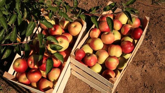 Jabuke u gajbama © Agromedia