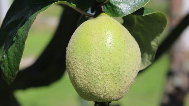Plod dunje - © Pixabay