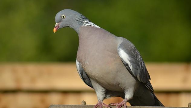 Golub grivnaš ili šumski golub - © Pixabay