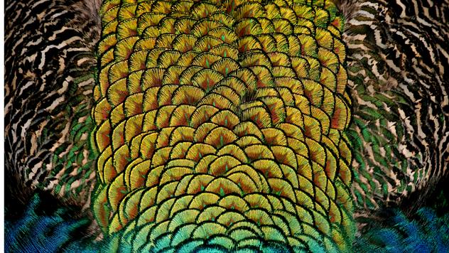 Karakteristike pauna ©Pexels