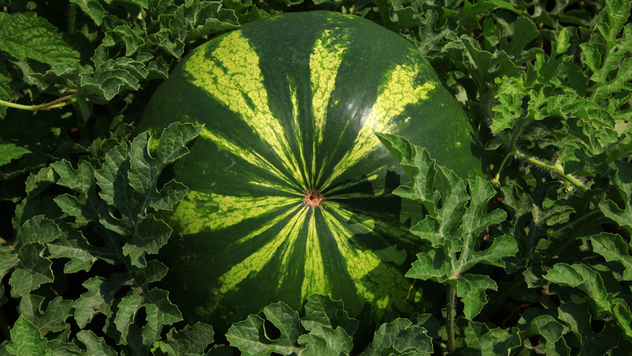 Gajenje lubenice - © Agromedia