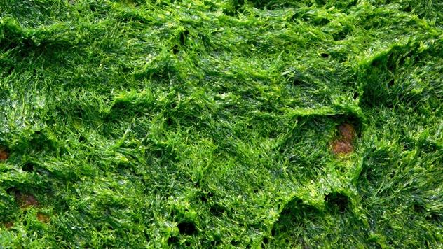 Ilustracija: Upotreba algi u ishrani stoke - © Pixabay
