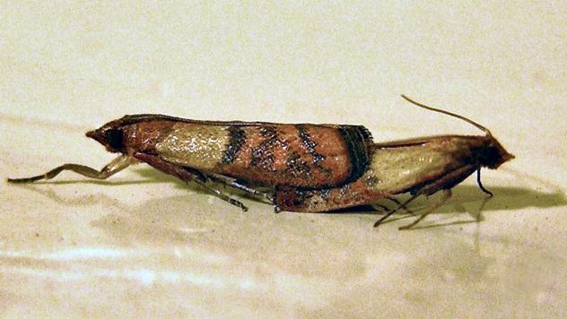 Bakrenasti moljac - © Wikipedia