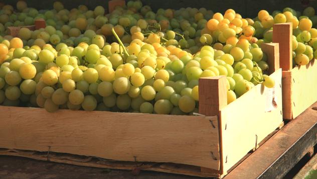 Berba ranih sorti grožđa - © Agromedia