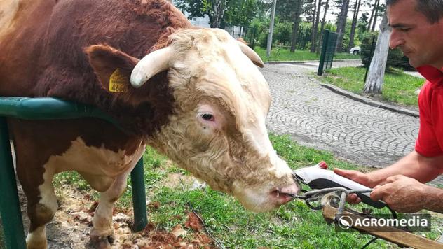 Podsticaji za bikove - © Agromedia