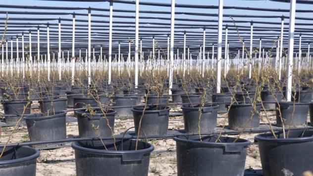 Gajenje borovnica u saksijama - © Agromedia