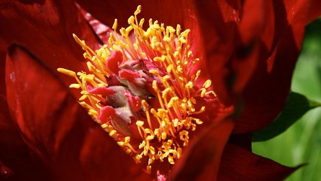 Crveni božur - © Pixabay