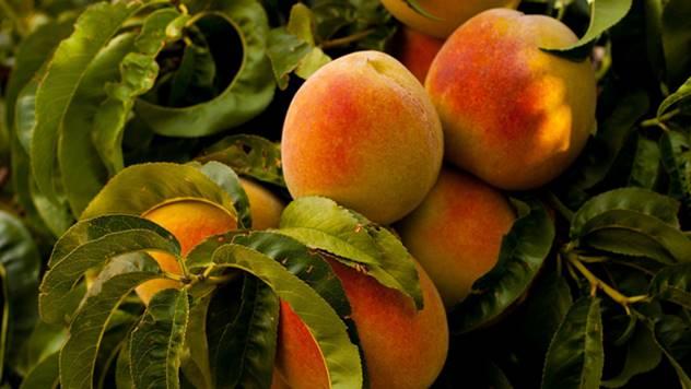 Zaštita koštičavog voća - © Agromedia