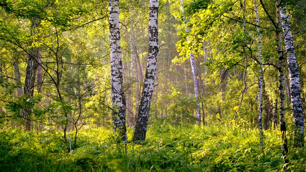 Ilustracija: Brezova šuma - © Pixabay