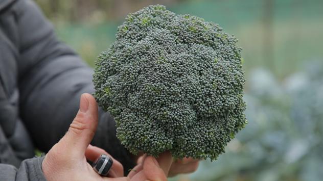 Brokoli © Agromedia