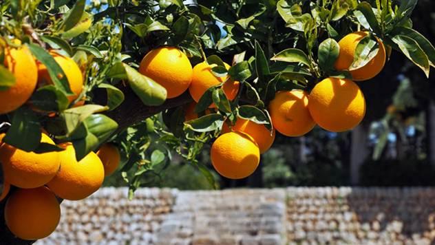 Saveti za gajenje citrusa - © Pixabay