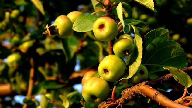 Divlje jabuke - © Pixabay