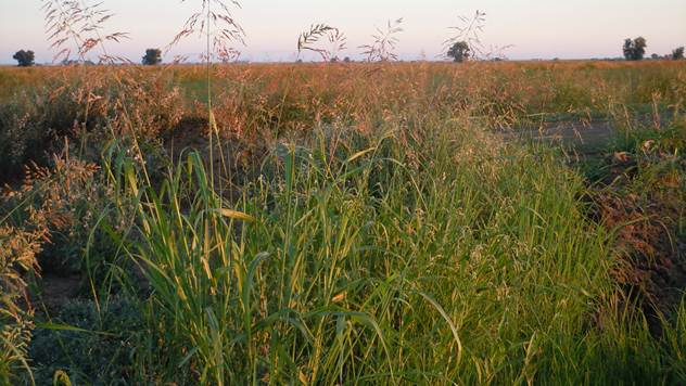 Divlji sirak u kukuruzu i kako ga suzbiti - © Wikimedia