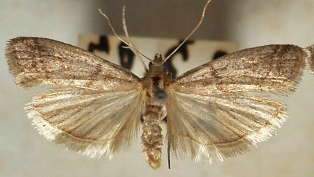Duvanski moljac - © Wikipedia