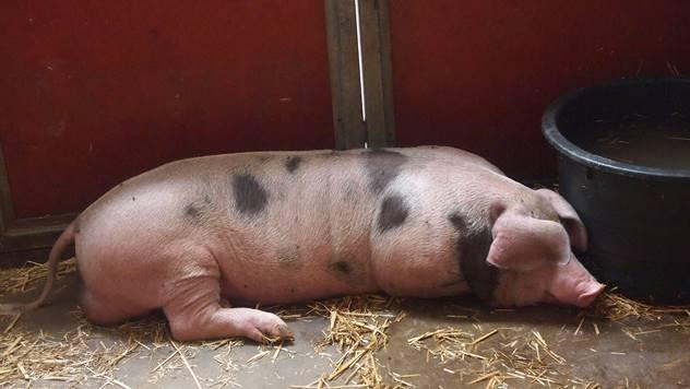 Farma svinja - © Pixabay
