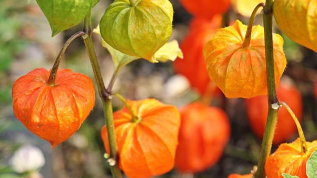 Paradajz za slatko ili perunaska trešnja - © Pixabay