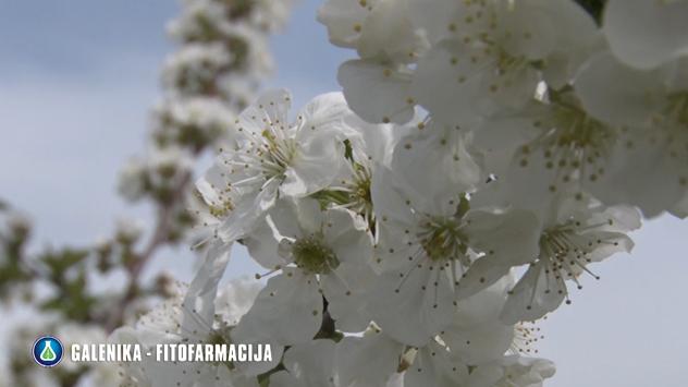 Jabuka u cvetu © Galenika-Fitofarmacija
