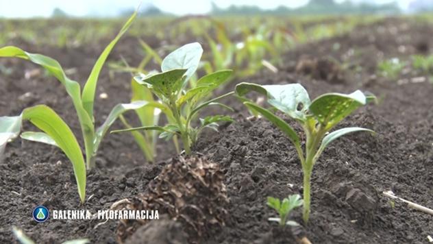 Suzbijanje korova u kukuruzu - © Galenika Fitofarmacija