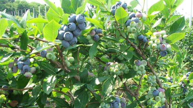 Kupite sadnice borovnice i otputujte u Holandiju!