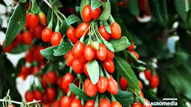 Godži bobice - Kineski crveni dijamanti - © Agromedia