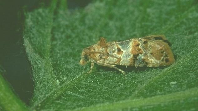 Kako da suzbijete grožđanog moljca - © Galenika-Fitofarmacija