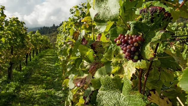 U planu je razvoj mediteranske plantaže grožđa u mediteranskih vina - © Pixabay