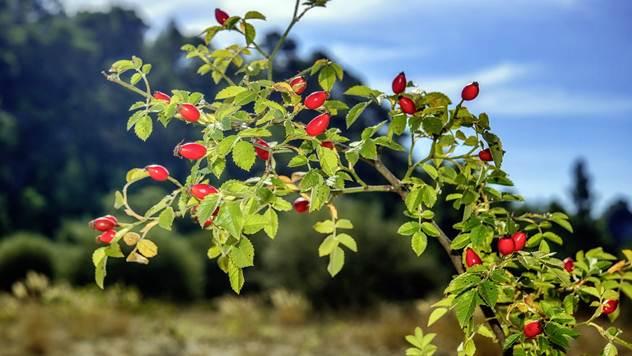 Divlji šipurak gaji se zbog ploda i kao podloga za kalemljenje ruža - © Pixabay