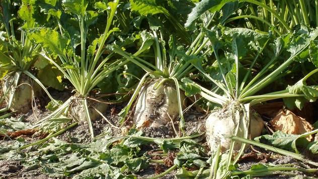 Šećerna repa u polju - ©Pixabay