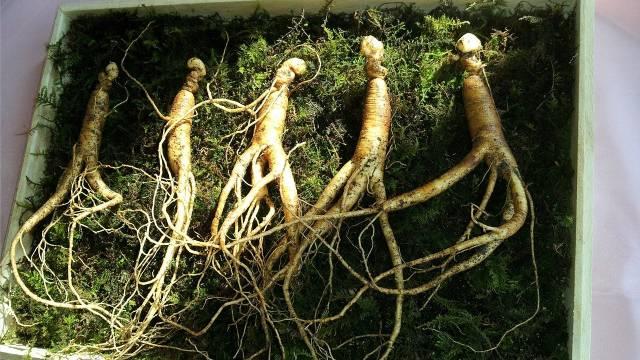 Kako se gaji žen-šen: Lekovita biljka koja donosi visoku zaradu - © Pixabay
