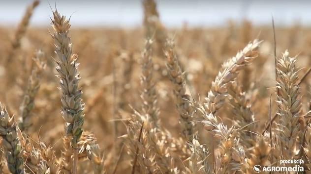 Srbija dospela među prvih deset izvoznika kukuruza i pšenice u svetu- © Agromedia