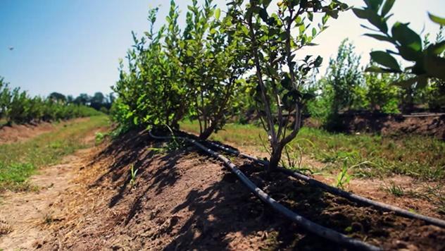 Proizvodnja borovnica na bankovima - © Agromedia