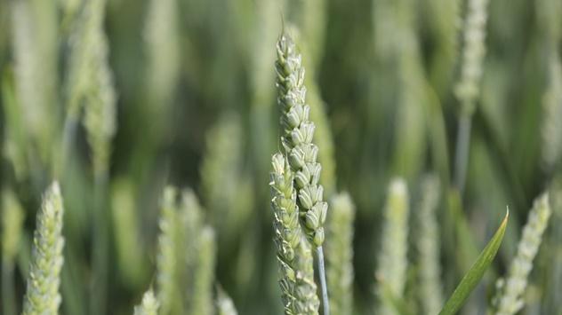 Zaštita pšenice i ječma od bolesti lista - © Adama