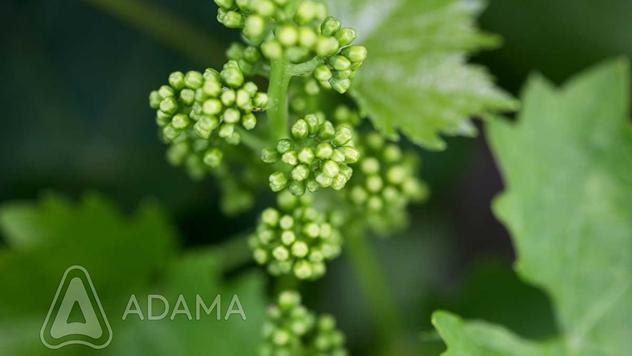 Formiranje grozdova - © Adama