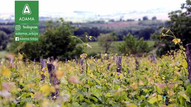 Održavanje vinograda - © Adama