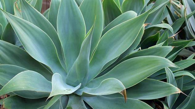 Sve o agavi - © Pixabay
