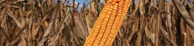 Agrimaks kukuruz 2 s @agromedia
