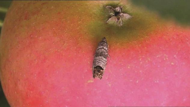 Suzbijanje jabukinog smotavca - ©