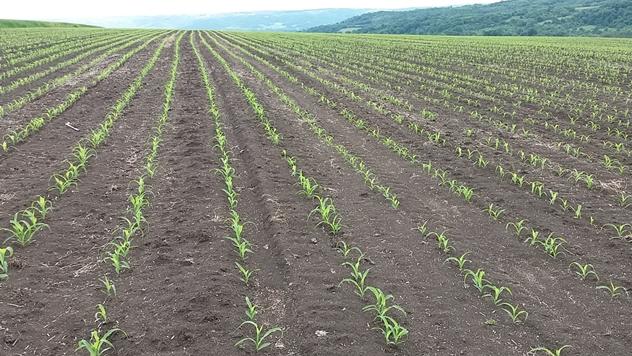 Zaštita kukuruza - © Agromarket