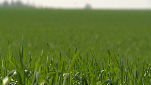 Zaštita pšenice - © Agromedia