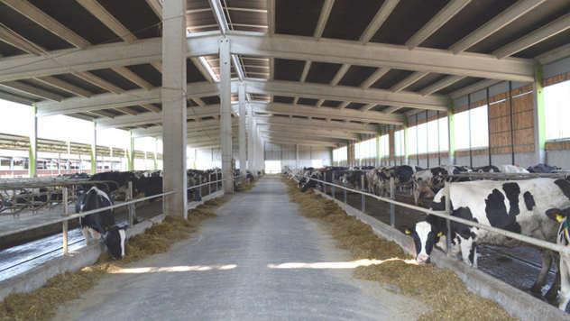 Krave u štali - iz arhive fotografija kompanije