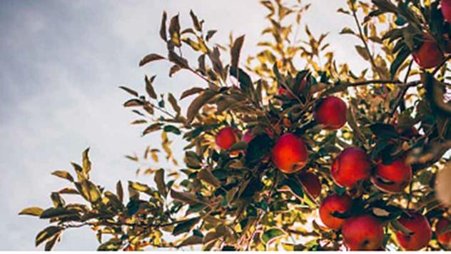 Zaštita jabuke - © BASF