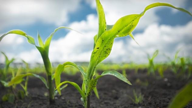 Primena herbicida posle nicanja kukuruza - © Bayer Crop Science