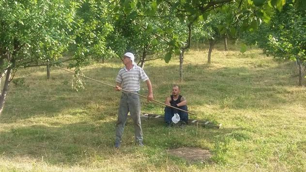 Berba šljive u Valjevu - © Dejan Davidović