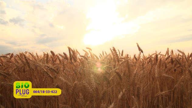 Bioplug u pšenici - ©Agromedia