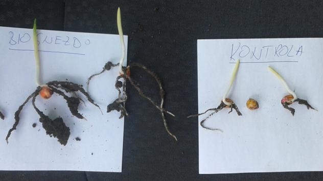 Seme tretirano Biognezdom i ne tretirano seme - © Biofor System