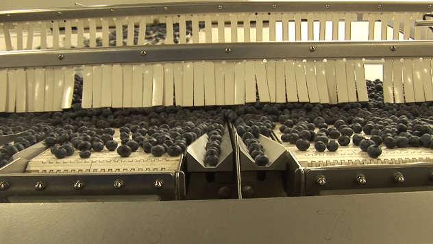 Borovnice na fabričkoj traci - ©Agromedia