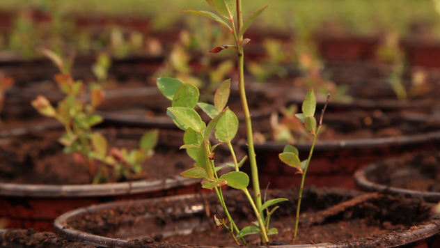 Sadnica borovnice - ©Agromedia