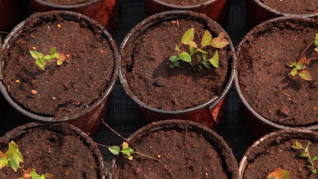 Sadnice borovnice - ©Agromedia
