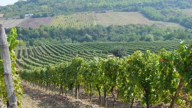 Vinogradi na obroncima Fruške Gore - © Bojan Kosović/Tanja Prolić