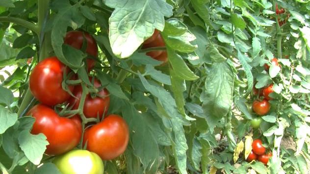 Gajenje paradajza - © Danijela Jovanović